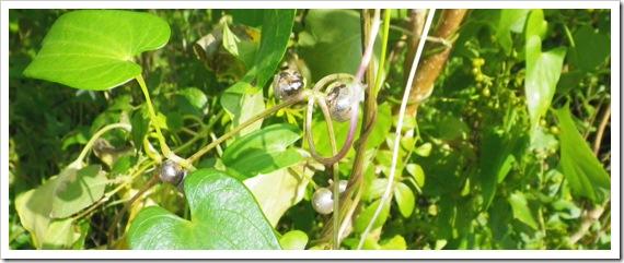 ヤマノイモ(自然薯)のムカゴ