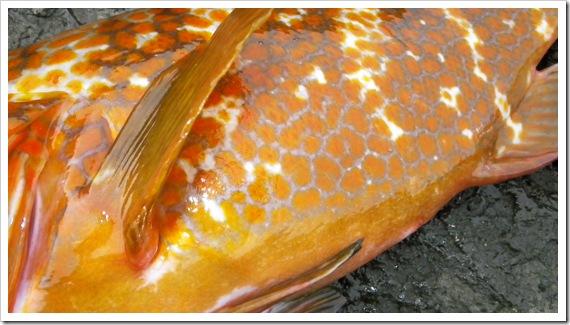 綺麗なオレンジの魚体・・・/山陰ショアロックフィッシュ