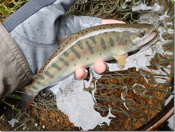 渓流 トラウト 尺山女魚 (2)